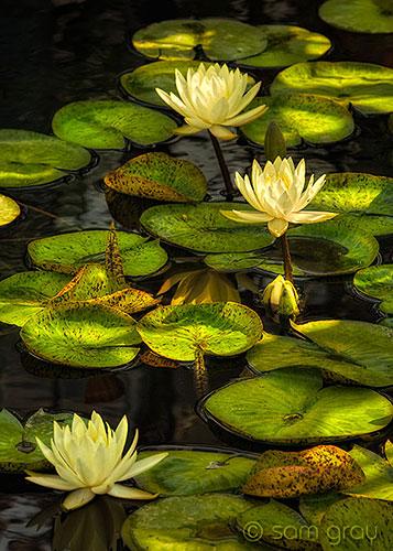 Sunlit Waterlilies - Nikon D700