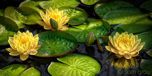 Sunlit Waterlillies