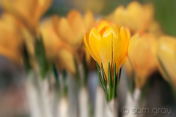 Yellow Crocus - Lensbaby Composer, Nikon D700