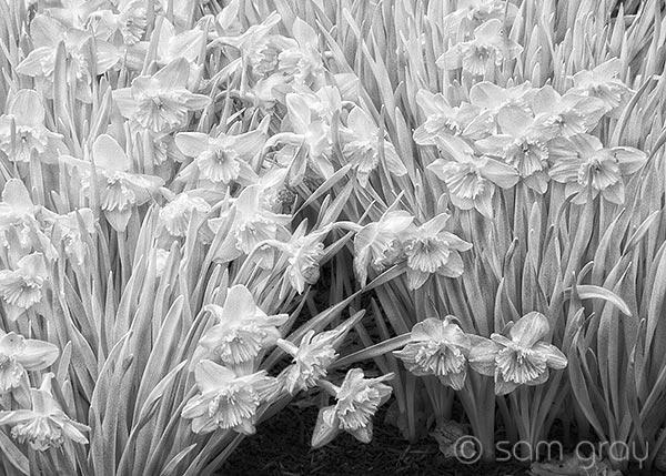 Embossed Daffodils - IR Nikon D200