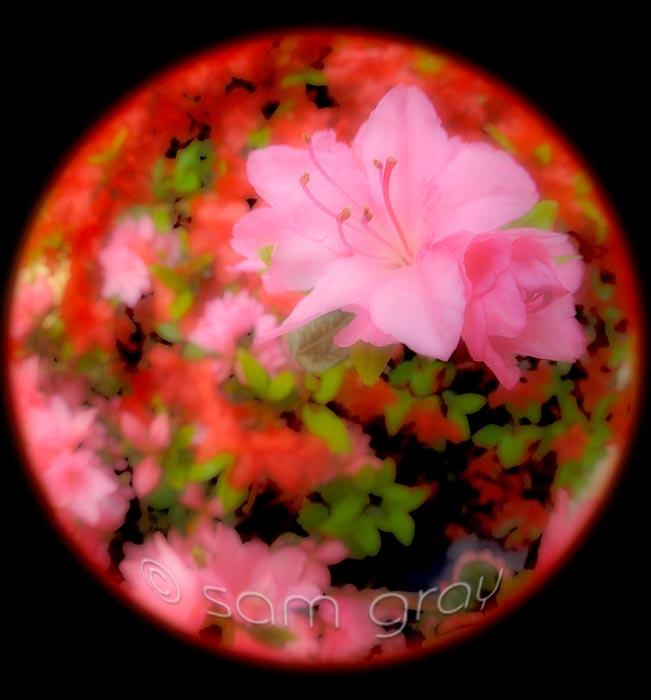Pink Azalea - Lensbaby