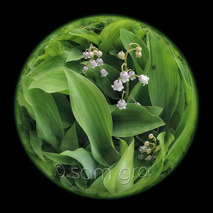 Lily of the valley 2011