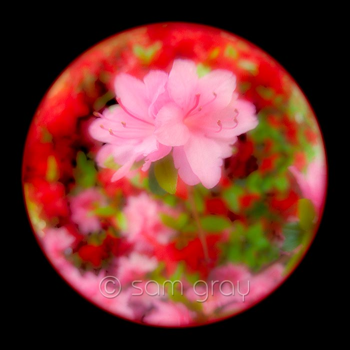Pink Azalea - Fish-eye