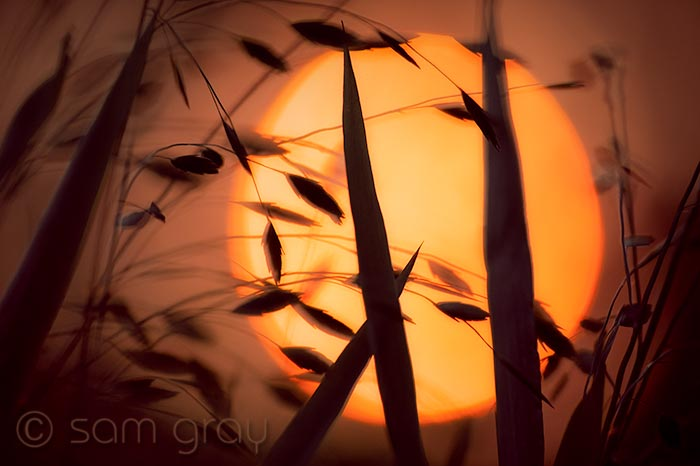 Ornamental Grass at Sunset