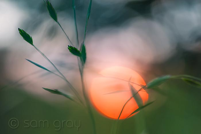 Sunset + Ornamental Grass 2