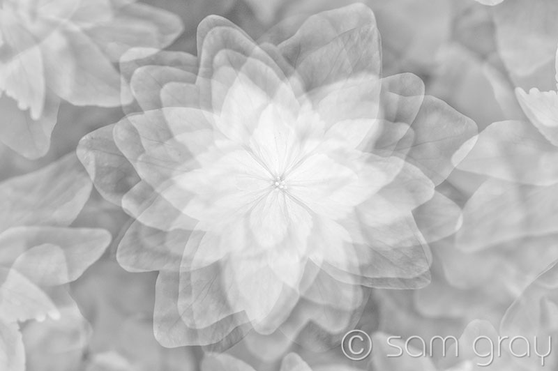 White Flower Multiple BW