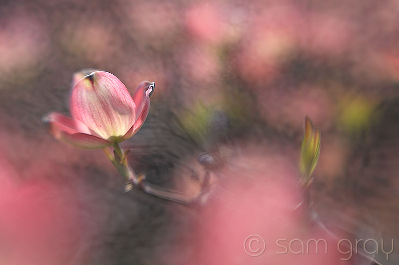 Spring Dogwood 1 - Lensbaby Soft Focus Optic