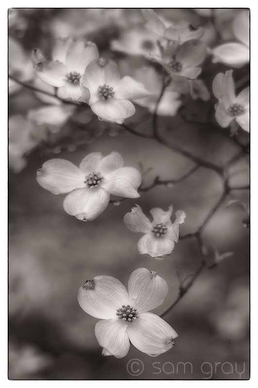 Pink Dogwood 3 BW - D700, 85mm PC