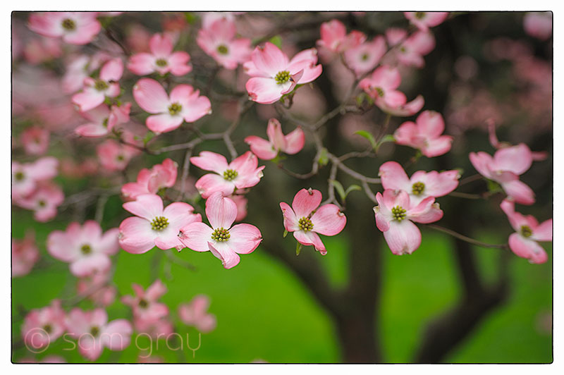 Pink Dogwood 1 - D700, 85mm PC