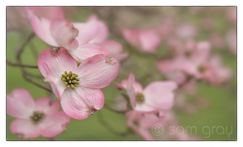 Pink Dogwood 2 - D700, 85mm PC