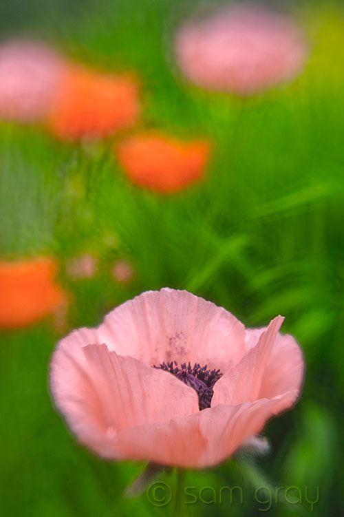 Lensbaby Poppies - D700, Lensbaby Composer