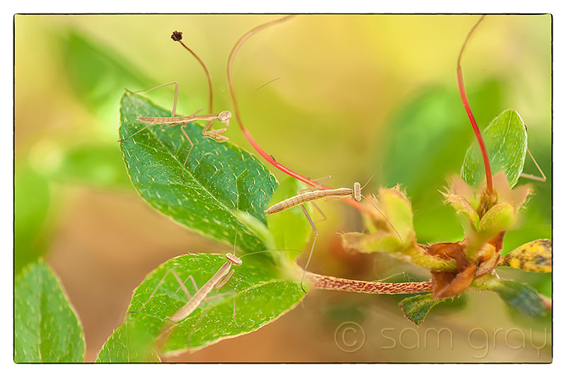 Newly Hatched Mantis - 70-200mm w/500D