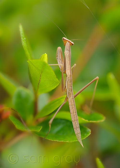 Male Mantis 2, 3-4 Weeks Old - D700, 70-200mm w/500D, 2 image stack