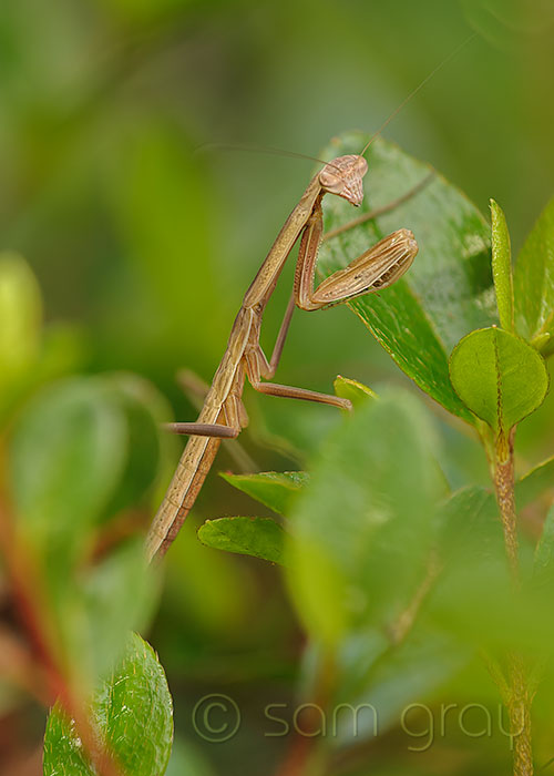 Male Mantis, 3-4 Weeks Old - D700, 70-200mm w/500D