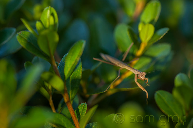 Mantis at Sunset - D700, 70-200 w/1.3 converter & 5ooD