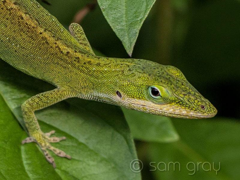 House Gecko 2, 100% - D700, 85mm PC