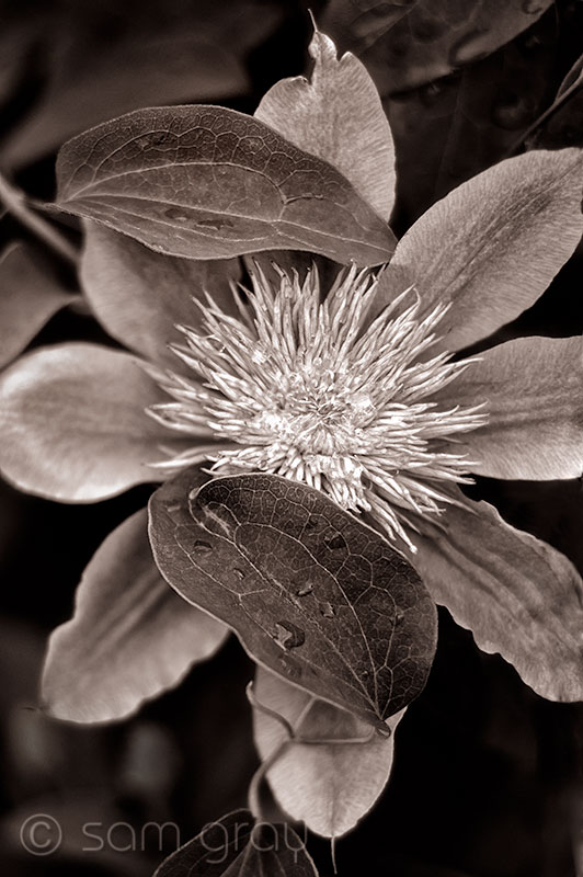 Sepia Clematis - D700, 24-70mm