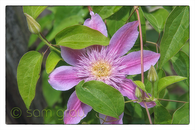 Garden Clematis - D700, 24-70mm, Helicon Focus 5 image stack