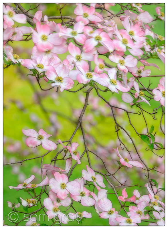 Pink Dogwood No.2 - Fuji X-T1, 55-200mm, Stacked Images