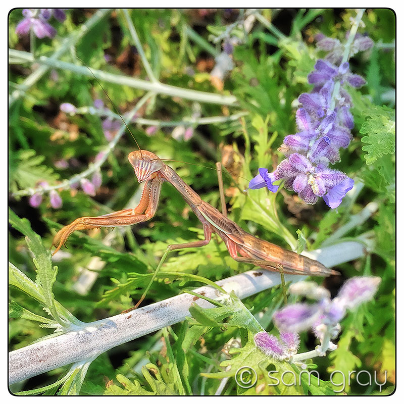 Brown Mantis - iPhone 6, HDR, Snapseed