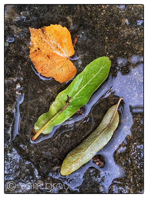 Three Wet Leaves - iPhone 6, HDR, Snapseed