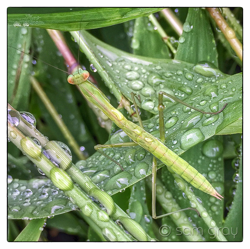 Rainy Day Mantis - iPhone 6, HDR, Snapseed